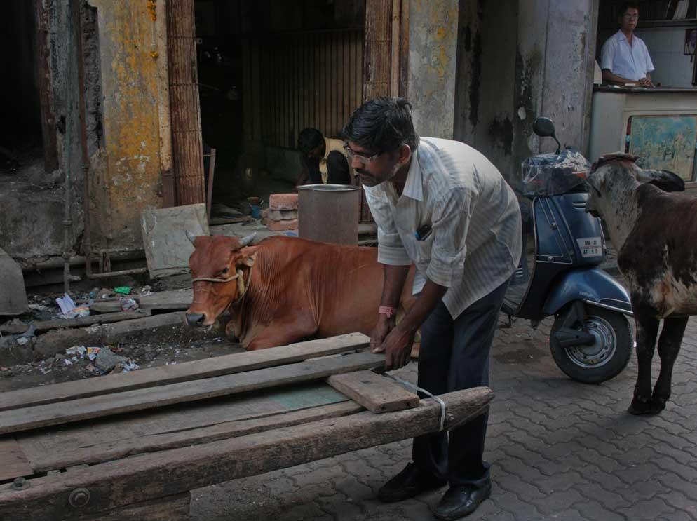 cows-n-carter-kama